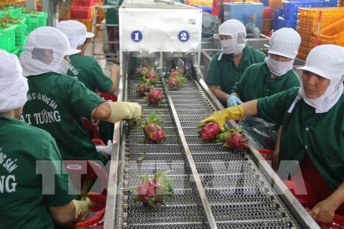 Aumenta Vietnam la exportacion de verduras y frutas hinh anh 1
