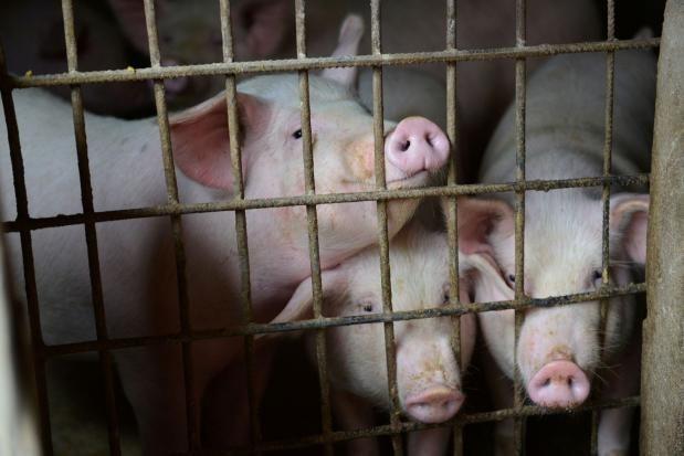 Tailandia refuerza medidas de prevencion contra la peste porcina africana hinh anh 1