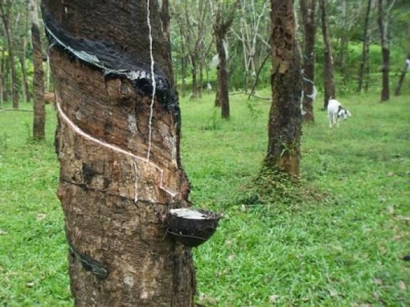 Disminuye produccion de caucho natural de Malasia hinh anh 1