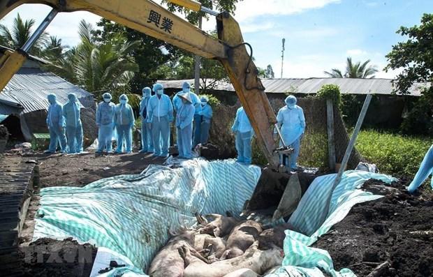 Anuncian que Vietnam podria obtener vacuna contra la peste porcina africana hinh anh 1