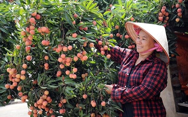 Provincia vietnamita de Bac Giang aumenta exportacion de lichi hinh anh 1
