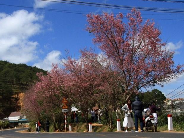 Plantaran mil arboles de flor de cerezo en meseta vietnamita de Langbiang hinh anh 1