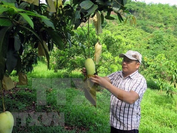 Exporta casi 80 millones en productos agricolas provincia vietnamita de Son La hinh anh 1