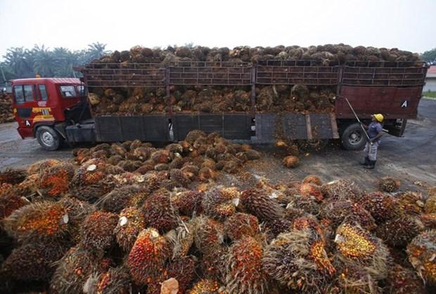 Presentara Malasia queja contra la UE ante la OMC por recortes al empleo del aceite de palma hinh anh 1