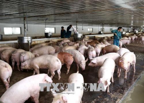 Avanza en Laos epidemia de peste porcina africana hinh anh 1
