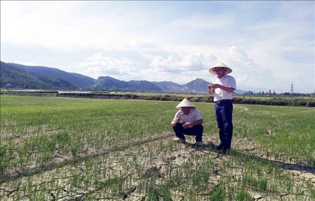 Alertan que la sequia puede afectar a mas de 65 mil hectareas de tierras agricolas en el centro Vietnam. hinh anh 1