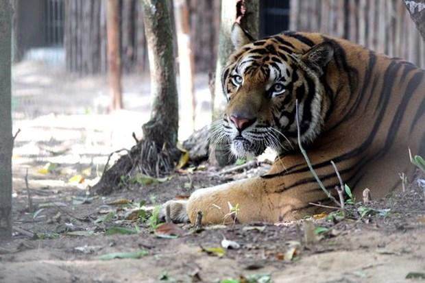 Alertan en Vietnam sobre la creciente comercializacion ilegal del tigre hinh anh 1