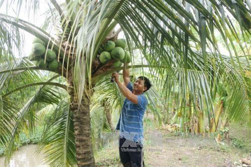 Promoveran productos de coco de Vietnam mediante festival en provincia de Ben Tre hinh anh 1