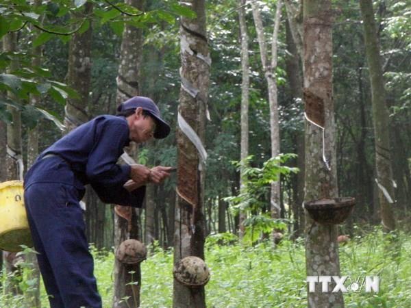 Mantienen tendencia alcista exportaciones vietnamitas de caucho hinh anh 1
