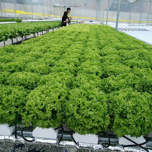 Desarrollan en Vietnam cultivo de vegetales en zonas urbanas hinh anh 1