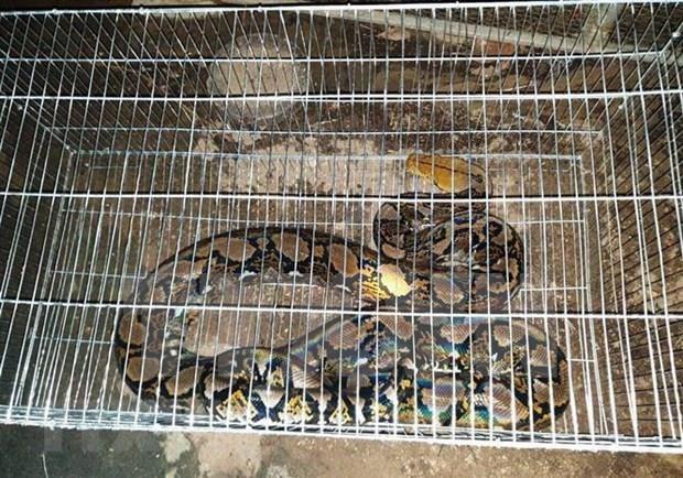 Rescatan en Vietnam serpiente piton reticulada, especie en peligro de extincion hinh anh 1