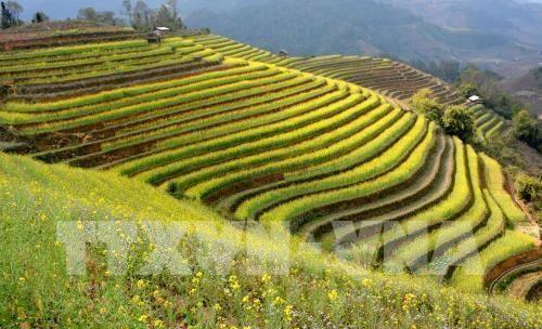 Efectuaran en Vietnam Festival de Terrazas de Arroz Mu Cang Chai hinh anh 1
