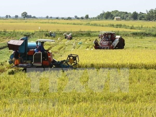 Espera Vietnam superar este ano en 150 mil toneladas la cosecha arrocera de 2018 hinh anh 1