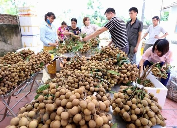 Primer lote de longan fresco vietnamita llega a Australia hinh anh 1