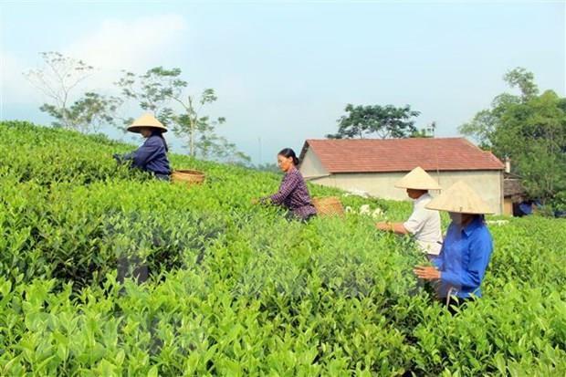 Te verde de Vietnam lidera mercado de Pakistan hinh anh 1