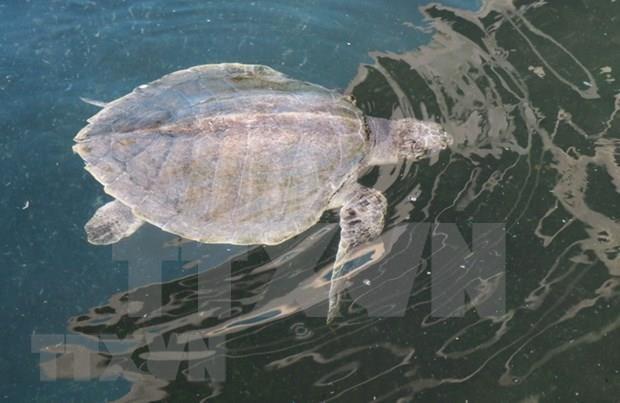 Vietnam intensifica preservacion de tortugas en peligro de extincion hinh anh 1