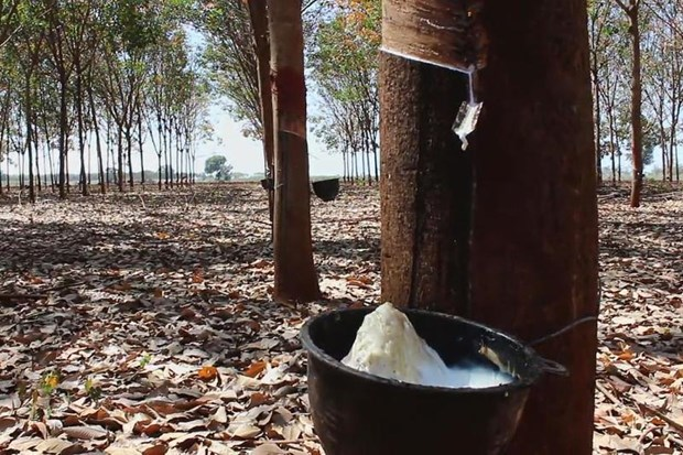 Destacan a Tailandia como mayor exportador mundial de caucho hinh anh 2