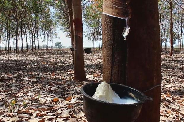 Destacan a Tailandia como mayor exportador mundial de caucho hinh anh 1