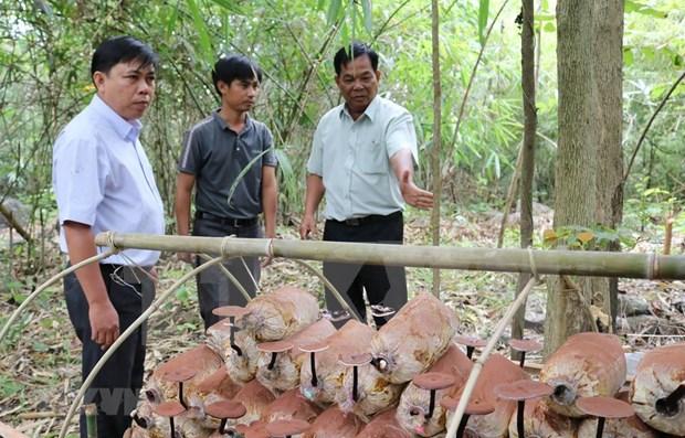 Logran en Vietnam cultivar variedades de hongos Lingzhi hinh anh 1