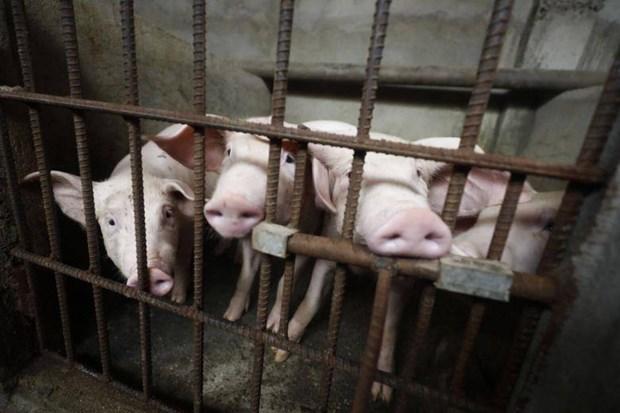 Se extiende Peste Porcina Africana en Filipinas hinh anh 1
