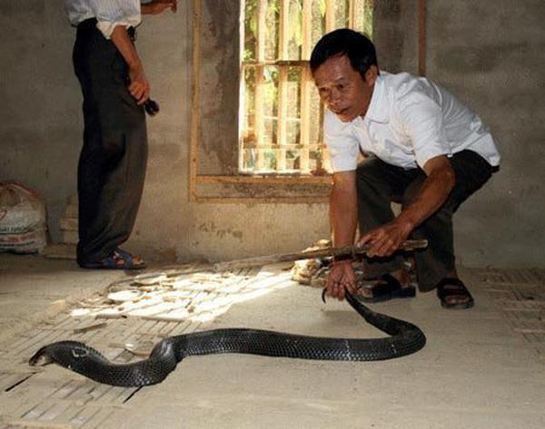 Desarrollaran en provincia vietnamita de Vinh Phuc turismo relacionado con cria de serpientes hinh anh 1