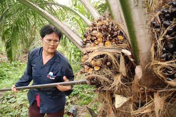 Planea Tailandia aplicar nuevas medidas para elevar precio del aceite de palma hinh anh 1