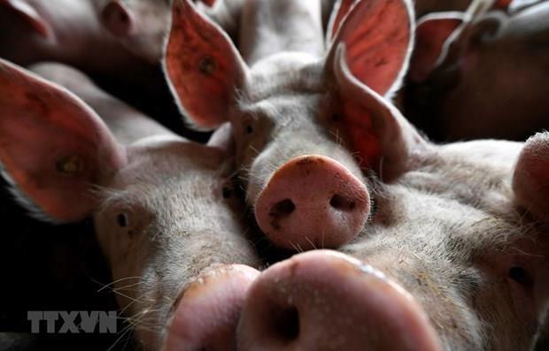 Filipinas castigara a violadores de medidas de cuarentena por peste porcina africana hinh anh 1