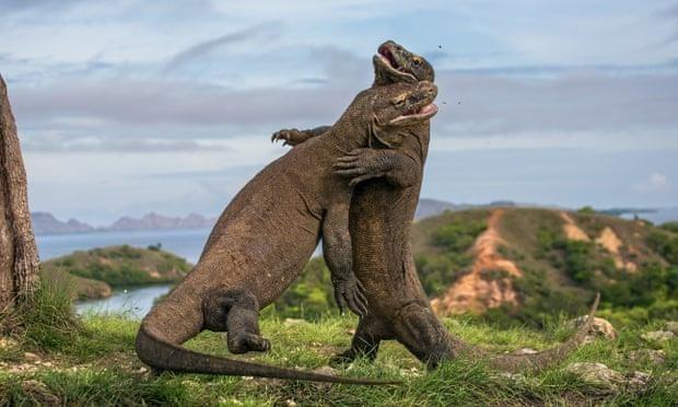 Detiene Indonesia plan para cerrar el Parque Nacional de Komodo hinh anh 1