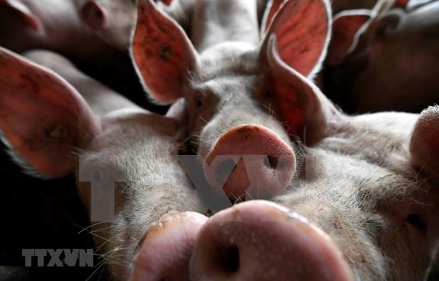 Reportan en Timor Leste brotes de la Peste Porcina Africana hinh anh 1