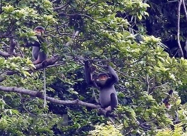 Quang Nam mejora habitat de langur en peligro de extincion hinh anh 1