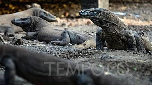 Planea Indonesia construir Museo del Dragon de Komodo hinh anh 1