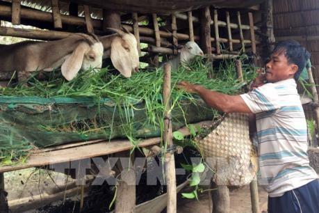 Proyecta provincia vietnamita de Ninh Thuan ampliar la ganaderia caprina hinh anh 1