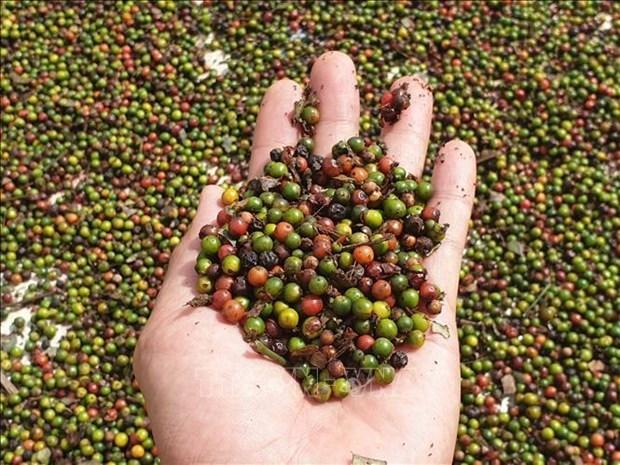 Advierten en Vietnam a las empresas que tengan cuidado al exportar pimienta a Myanmar hinh anh 1