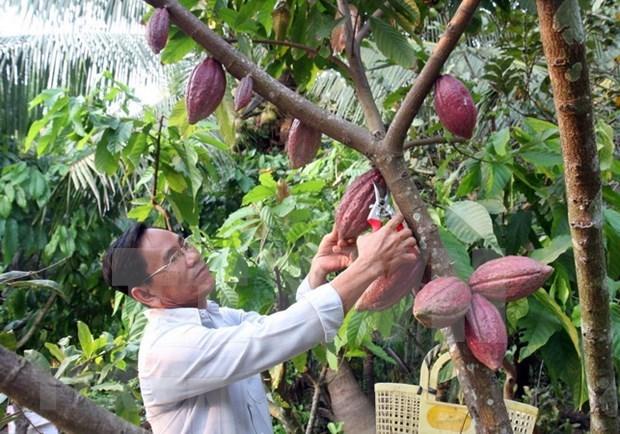 Exportan primer lote de cacao organico vietnamita a Japon hinh anh 1