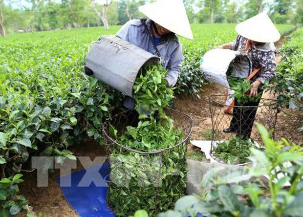 Aumentaron mas del 14 por ciento las exportaciones vietnamitas de te hinh anh 1