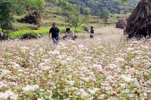 Inauguran en provincia vietnamita de Ha Giang Festival de Flores de Alforfon hinh anh 1