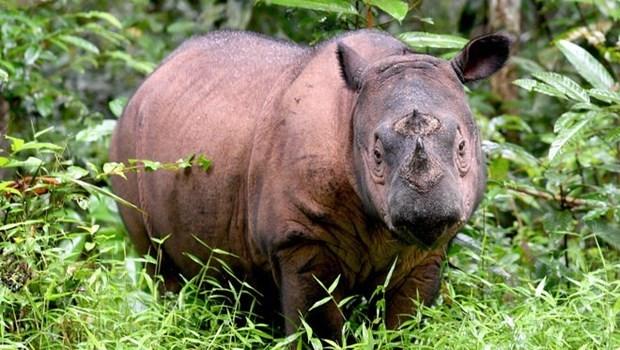 Muere el ultimo rinoceronte de Sumatra en Malasia hinh anh 1
