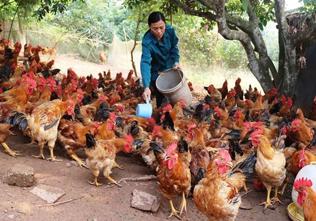 Desarrolla provincia vietnamita de Bac Giang cria del pollo criollo de Yen The hinh anh 1