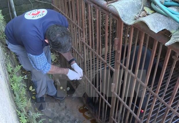 Rescatan en Vietnam a un oso negro asiatico cautivo durante casi 30 anos hinh anh 1
