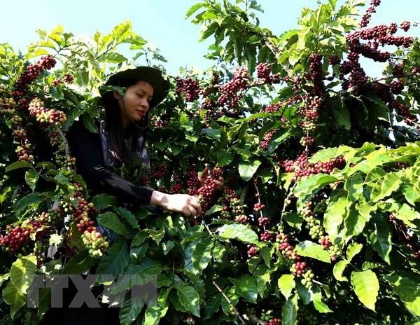 Sector cafetero vietnamita busca aumentar el valor agregado de productos hinh anh 1