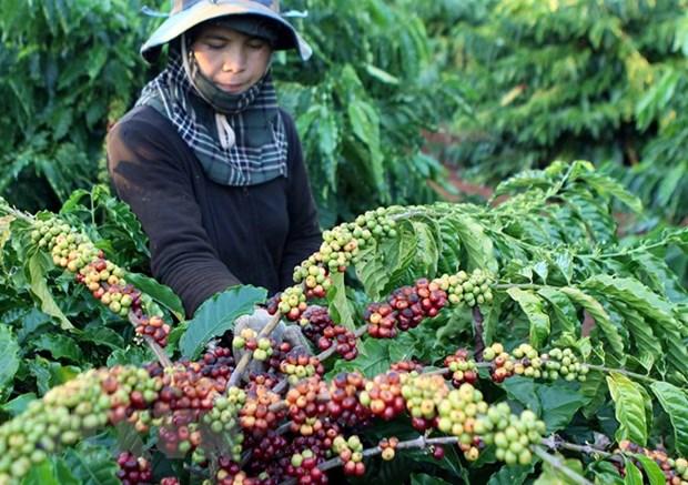 Provincia vietnamita de Dak Lak se centra en produccion de cafes especiales hinh anh 1