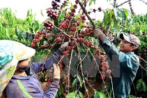 Sector cafetero de Vietnam apunta a un ingreso de seis mil millones de dolares en 2020 hinh anh 1