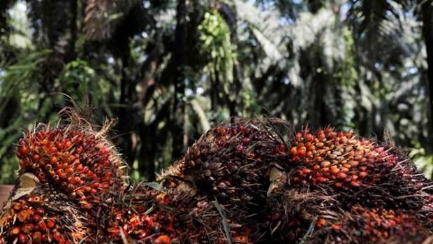 Reduce India impuesto de importacion de aceite de palma de paises de ASEAN hinh anh 1
