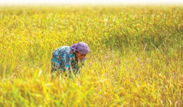 Exportaciones de arroz camboyano a China aumentan 46 por ciento en 2019 hinh anh 1