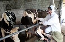 Epidemia de fiebre aftosa del ganado afecta a Tailandia hinh anh 1