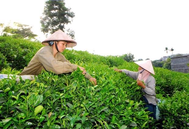 Celebraran IV Festival de Te, especialidad de provincia vietnamita de Thai Nguyen hinh anh 1