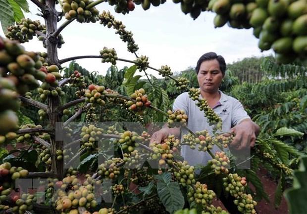 Cafe de Vietnam conquista el mercado mundial hinh anh 1