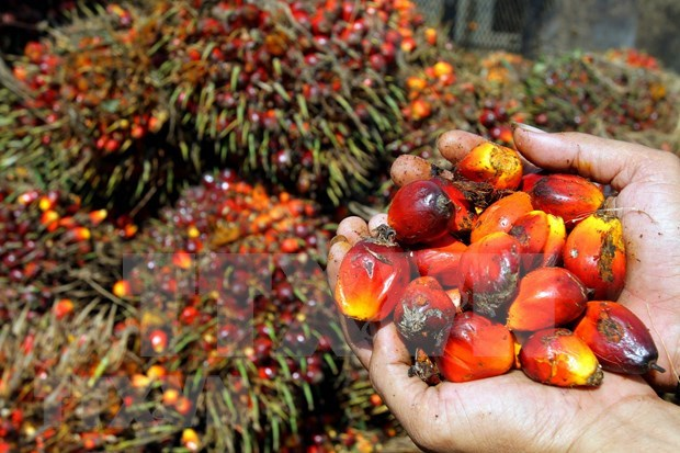 Aumentara Pakistan sus importaciones del aceite de palma de Malasia hinh anh 1