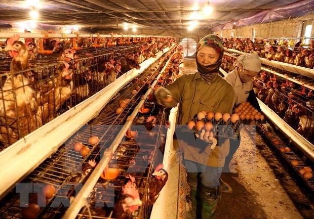 Premier de Vietnam exhorta a intensificar medidas preventivas de la influenza aviaria hinh anh 1
