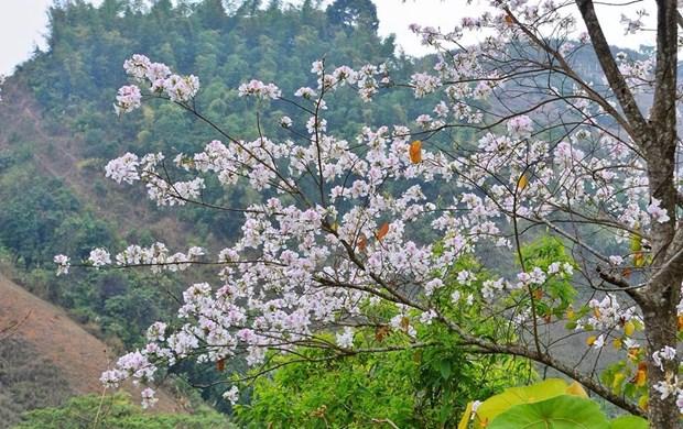 Embellecen flores de bauhinia montanas del noroeste de Vietnam hinh anh 1